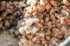 Molde en las gachas de avena del alforfón Imagen de archivo