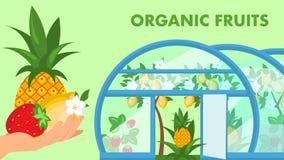 Molde liso do vetor da bandeira orgânica da Web dos frutos ilustração stock