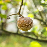 Moldet apple hangs at the tree Royalty Free Stock Photography