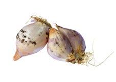 Moldy κρεμμύδια Στοκ Φωτογραφία
