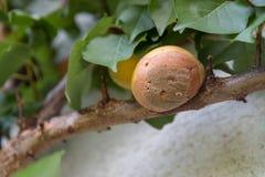 Moldy яблоко на дереве стоковая фотография