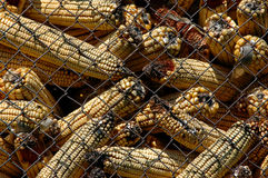 Moldy corn with Aflatoxin Royalty Free Stock Photos
