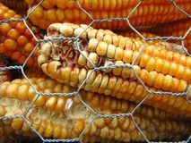 Moldy corn due to improper storage.  Background. Close-up. Moldy corn background. Improper storage of corn brings losses to farmers. Close-up stock photos
