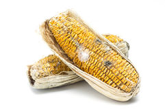 Moldy corn Royalty Free Stock Photos