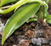 Moldy Flower Pot. With green leaves (close-up shot Royalty Free Stock Photo