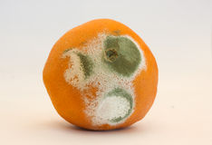 Moldy orange. Grey and green mold on an old, rotting orange Royalty Free Stock Photo