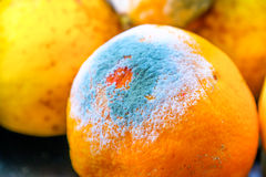 Moldy orange citrus fruit mold Stock Photo