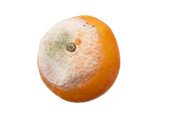 Moldy Orange Royalty Free Stock Photo
