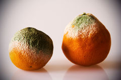 Moldy Oranges Royalty Free Stock Image