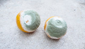 Moldy oranges. A pic of moldy oranges Stock Photography