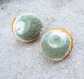 Moldy oranges Royalty Free Stock Photos