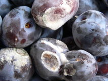 Moldy plums Stock Photography