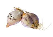 Moldy shallots Stock Photography