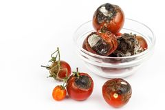 Moldy tomatoes in a glass bowl on a white background. Unhealthy food. Bad storage of vegetables. Mold on food. Royalty Free Stock Images