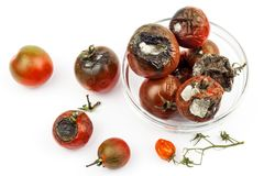 Moldy tomatoes in a glass bowl on a white background. Unhealthy food. Bad storage of vegetables. Mold on food. Moldy tomatoes in a glass bowl on a white stock images