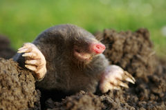 Mole. Dangerous mole in molehill, showing claws and teeth
