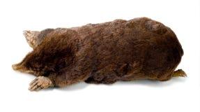 Mole. European mole Talpa europaeam on a white background Royalty Free Stock Images