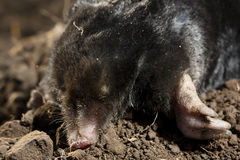 A Mole. Or Talpidae on soil royalty free stock photos