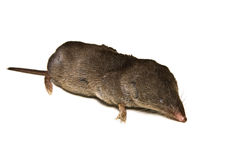 Mole. A small mole of the type in North America Royalty Free Stock Photos