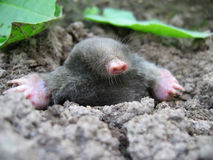 Mole. In land Royalty Free Stock Image