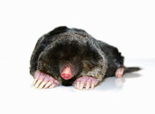 Mole. Little mole isolated in white Stock Photo