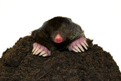 Mole Stock Photos