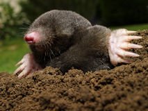 Mole. In action in the garden Royalty Free Stock Images