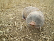 A mole. On dry land Royalty Free Stock Image