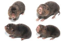 Free Mole Stock Photo - 47946800
