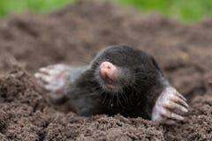 mole Royaltyfri Fotografi