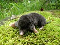 Mole auf einem Moos Stockbild