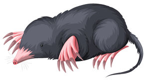 Mole with black fur Stock Photos