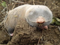 Mole on a clod Royalty Free Stock Image