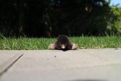 Mole on concrete surface Royalty Free Stock Photos