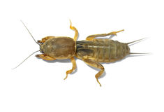 Mole cricket. Royalty Free Stock Image