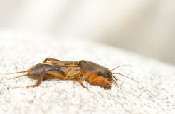 Mole cricket Stock Photography