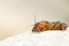 Mole cricket. Portrait of a mole cricket Royalty Free Stock Images