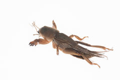 Mole cricket Stock Images