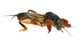 Mole cricket Royalty Free Stock Photo