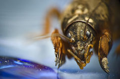 Mole cricket close up. On a blue surface background Stock Image