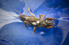 Mole cricket Royalty Free Stock Images