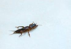 Mole cricket Royalty Free Stock Photography
