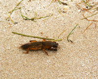 Mole cricket (Gryllotalpa) Stock Photography