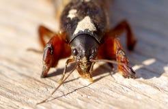 Free Mole Cricket, Gryllotalpa Gryllotalpa Stock Photo - 68272790