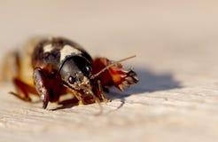 Mole Cricket, Gryllotalpa gryllotalpa Royalty Free Stock Images