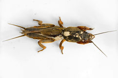 Mole cricket (gryllotalpa). On a light ceramic background Royalty Free Stock Photos
