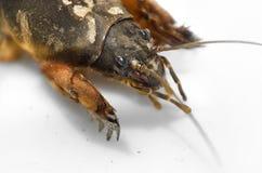 Mole cricket (gryllotalpa) Stock Image