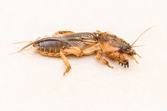Mole Cricket, Gryllotalpidae Royalty Free Stock Photo