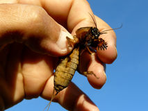 Mole cricket in hand Stock Image
