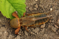 Mole Cricket. Royalty Free Stock Photo